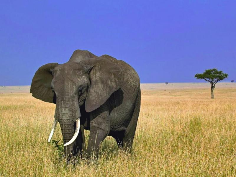 У слона сердце весит 20-30 кг. Бьется оно раз в 2 секунды, 30 раз в минуту.