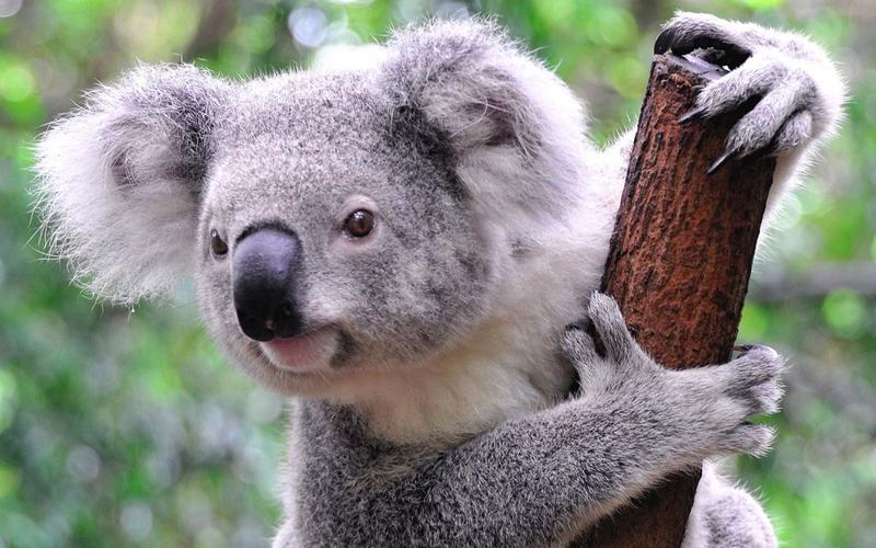 Уникальные отпечатки пальцев имеют кроме людей еще и коалы.
